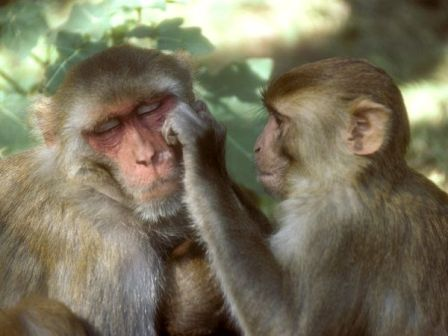 rhesus-monkey_685_600x450